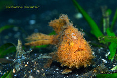I do need a shave! (kayak_no1) Tags: nikon d800e nauticamhousing 105mmvr diopter ysd1 subsee10 underwater underwaterphotography macro supermacro diving scubadiving uw lembehstrait indonesia hairy frogfish