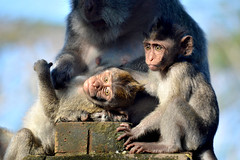 Uluwatu Temple (Roselinde Alexandra) Tags: bali indonesia travel monkey monkeys macaque temple uluwatu nature animal animals