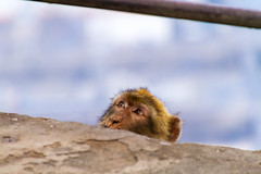 Portrait of a Barbary macaque (TimOve) Tags: vacation ferie trip summer sommer portrait barbary macaque rockape monkey barbarymacaque gibraltar therock shallowdof furry