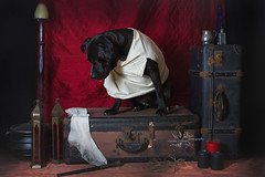 Master has given Dobby a sock (goodgirlbetty) Tags: hap harry potter cosplay pet portrait dressup amsta amstaff staffy bully breed studio