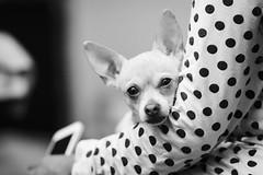 Kiara. (Gerardo Nava Fotografa.) Tags: sony alpha a77ii sonyflickraward sonyalpha sonymxico sonya77ii sonyzeiss zeiss zeisslens 135mm sal135f18z sonnart18135za sonnart18135 portrait retrato dog perro kiara bn bokeh
