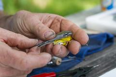 Magnolia Warbler (Arlen Breiholz) Tags: animals birdbanding birds cameras eos7d fwkentpark iowa johnsoncounty places songbirds usa wildlife