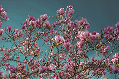DSCF4476 (kiwibloke888) Tags: cherryblossom magnolia fujixt1 xf35f14 spring
