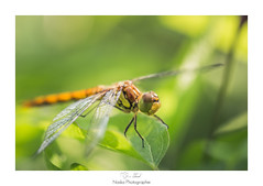 Regard menthe choco (Naska Photographie) Tags: naska photographie photo photographe paysage proxy proxyphoto macro macrophotographie macrophoto libellule odanate dragonfly dragonflie insectes ailes volant nature sauvage extrieur eos canon sigma