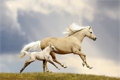 pony mare and foal (swanff) Tags: action animal beauty breed chestnut collage collection equestrian equine farm fast foal free freedom galloping grace grass green grey halter herd horse isolated livestock mammals mane mare maternity mother motion moving natural nature palomino pet protection purebred reflection spirit stand tenderness togetherness welsh white yellow ray sun cloud russianfederation