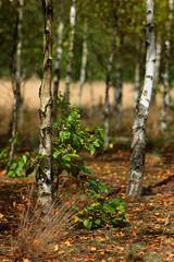 Brzozowy lasek (jacekbia) Tags: polska poland kurpie przyroda natura nature las forest drzewa tree panorama bokehrama autumn colors 135mm m42 canon krajobraz landscape outdoor dof