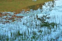 Monet adoraria # 42 / Monet would love # 42 (Mrcia Valle) Tags: monet monetadoraria monetwouldlove lagoa lagoon pond nymphaeas ninfeias caet juizdefora minasgerais brazil brasil nikon d5100
