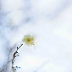 """FIRST BLOOM"" ( ) Tags: sonyilce7 nikkor 85mmf20 park  ume plum masterphotos"