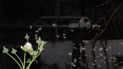 Diente de Leon (franciscomelfi) Tags: dandelion dientedeleon blowout flower blow fotodeldia photography photo foto wind fotografia dark nofilter photooftheday flash