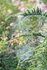20160905_F0001: Completely webbed (wfxue) Tags: spider spidersilk spiderweb web lines water wet droplet mist bush plant nature biology
