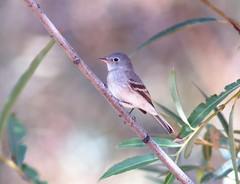 Gray Flycatcher (Christopher Lindsey) Tags: summer fallmigration birds birding snakeriver deadmancreek centralferry lakebryan garfieldcounty washington grayflycatcher