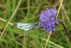 not entirely sure.............. (Suzie Noble) Tags: struy strathglass butterfly insect scabious wildscabious