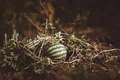 ([Paulo]Sousa) Tags: watermellon melancia 135l fruit