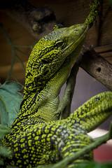 The Newport Aqaurium (StephenChaotic) Tags: lizard reptile green scales claws newportaquarium newportky