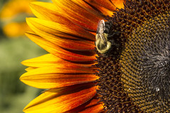 Sunflower Flames with Bee (JLyn Nature Photography) Tags: burnsidefarm haymarket sunflowers sunflower bee flamescanoncanon 70dadobephotoshoppscc