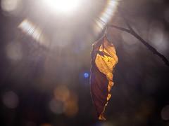 Leafing So Soon? (i-r-paulus) Tags: autumn leaf golden brown autumnal flare lensflare twig woodland wood hembury bokeh bokehlicious glare legacylens landscape devon