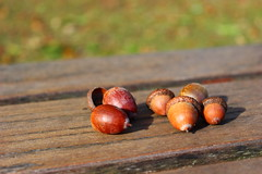 Acorns warm up in the sun (Lucia689) Tags: autumn acorn chestnut shell leaf leaves forest evening sunshine cold becomeautumn october tree bench water hand pond see greysky bluesky holiday