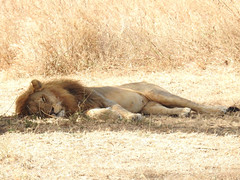 DSCN3269 (David Bygott) Tags: africa tanzania serengeti lion rest