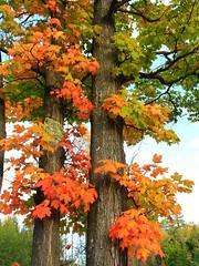 IMG_1310 Maples near the Escanaba River (jgagnon63@yahoo.com) Tags: fallcolor autumn maples deltacountymi upperpeninsula uppermichigan canonsl1 october