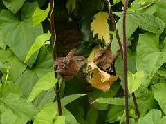 Troglodytes troglodytes - Troglodytidae - Troglodyte mignon, Eurasian Wren - Meudon - Hauts-de-Seine - Ile-de-France - France (vanaspati1) Tags: troglodytestroglodytestroglodytidaetroglodytemignon eurasianwrenmeudonhautsdeseineiledefrancefrance birds oiseaux voler vanaspati1 nature sauvage animaux oiseau bird couleurs colors france