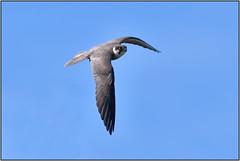 Hobby (image 3 of 3) (Full Moon Images) Tags: rspb sandy thelodge lodge wildlife nature reserve bird prey birdofprey flight flying hobby