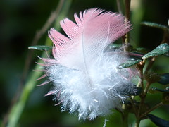 Feather (teressa92) Tags: macro feather pink white teressa92 nature natural green galahfeather soft fluffy