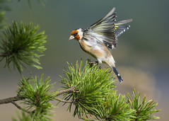 Goldfinch (Margaret S.S) Tags: european goldfinch pine tree