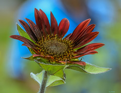 Red Sunflower (Aliparis) Tags: naturallight nature nikon redsunflower sunflower sunflowerseeds field garden rurallifemuseum nikond500 fall 2016