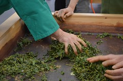 Hand rolling (Obubu Tea Farms) Tags: tea processing handrolling rolling greentea japanesetea sencha wazuka japan obubu