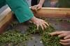 Hand rolling (Obubu Tea Farms) Tags: tea processing handrolling rolling greentea japanesetea sencha wazuka japan obubu