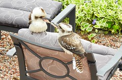 """""""My chair"""" """"I was here first"""" (r0bbe1) Tags: kookaburra"""