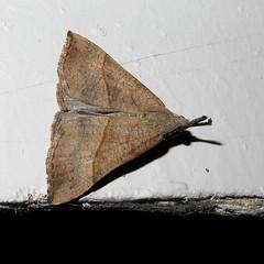 Snout - Hypena proboscidalis (Camerar) Tags: uk moth snout hypenaproboscidalis