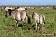 Oostvaarders 16okt2016 logo7 (natas0320) Tags: oostvaardersplassen horses horsesinthewild wildhorses vox flevoland nieuwland lelystad netherlands holland thenetherlands nature natureonyourdoorstep natureinmybackyard naturelovers takingpictures takingphotos
