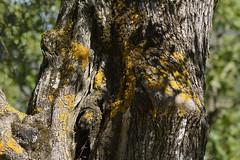 Olive Tree (hippyczich) Tags: olive tree bark moss shadows ithaca greece