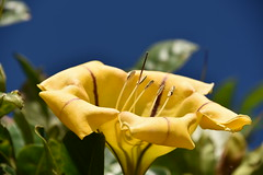 huge yellow flower (sabinakurt62) Tags: plant flower nature garden street green yellow goldenchalice sky blue beautiful nikon photography