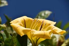 huge yellow flower (sabinakurt62) Tags: plant flower nature garden street green yellow goldenchalice sky blue beautiful nikon photography