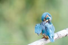 Preening kingfisher (Renate van den Boom) Tags: 09september 2016 biesbosch europa ijsvogel jaar maand nederland noordbrabant renatevandenboom vogels