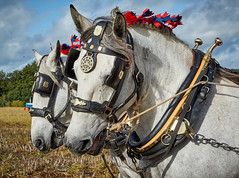 DSC05563 (Andy Oldster) Tags: eashing godalming farm plough ploughing heavyhorses shire sony alpha a65 slt