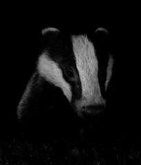 Visitor in Black and White (tobyhoulton) Tags: badger night black white garden toby houlton nikon d500 wildlife nature animal mammal outside