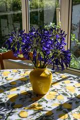 Purple and Lemons (Jocey K) Tags: newzealand southisland akaora flowers vase table lemon windows shadows agapanthus