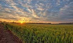 SUNRISE 08/10/2016,  WESTBROOK,  TOOWOOMBA,  QUEENSLAND. (16th man) Tags: westbrook toowoomba gorehighway sunrise canon eos eos5dmkiii wheat crop