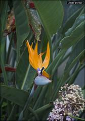 Paradise Bird Flower - MyGarden-IZE-025 (Zachi Evenor) Tags: zachievenor israel mygarden garden gardening         strelitziareginae strelitzia reginae   flower flowers ganedenbird paradisebird paradisebirdflower