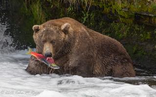 Gotcha!  Salmon Bear