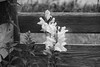 Snapdragons in the Compost Bin, B&W (marylea) Tags: 2016 sep23 snapdragons blackandwhite blackwhite bw gardens flowers evening compostbin compost compostbins surprise contrasts monochrome wood