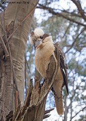 Laughing Kookaburra (Dacelo novaeguineae). (Dean M Baxter) Tags: laughing kookaburra novaeguineae dacelo bird australia nsw