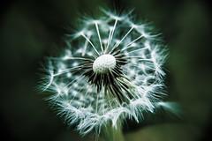 Dandelion (mnicol13) Tags: dandelion pissenlit nature d3200 macroscopique nikon mnicol13 fleur plante macro graine vent petit infiniment dent de lion aigrettes