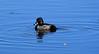 500_1876 (DianeBerky19) Tags: nikond500 duck wy jacksonholewyoming bird
