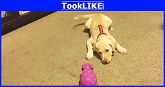 น้องหมาเห่าใส่ตุ๊กตาหมูปิ๊บๆ (tooklikedotcom) Tags: ตุ๊กตาหมู สุนัข เห่า