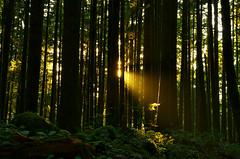 Komorebi (Kristian Francke) Tags: forest tree trees leaves plant light sunlight sunset golden yellow fall september 30 2016 pentax tamron komorebi