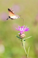 Macroglossum stellatarum (youbooth.de) Tags: butterfly insect insectphotography butterflies focusonforeground closeup fragility flower beautyinnature wildlife flying macro macrophotography detail macrocollection eyeemgallery eyeemnaturelover ilovephotography eye4photography showcaseoctober color wildlifenature dramaticangles wanderlust